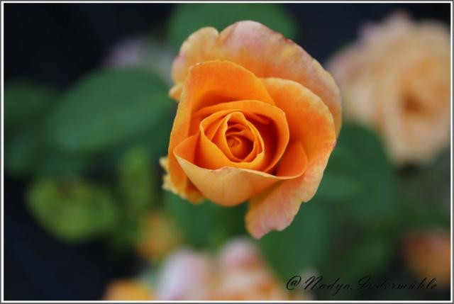 Les roses. Cadre100