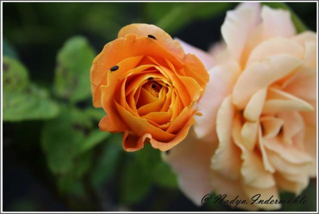 Les roses. Cadre101