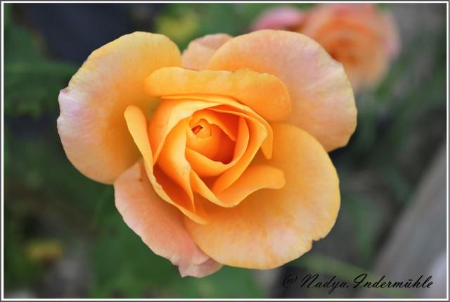 Les roses. Cadre102