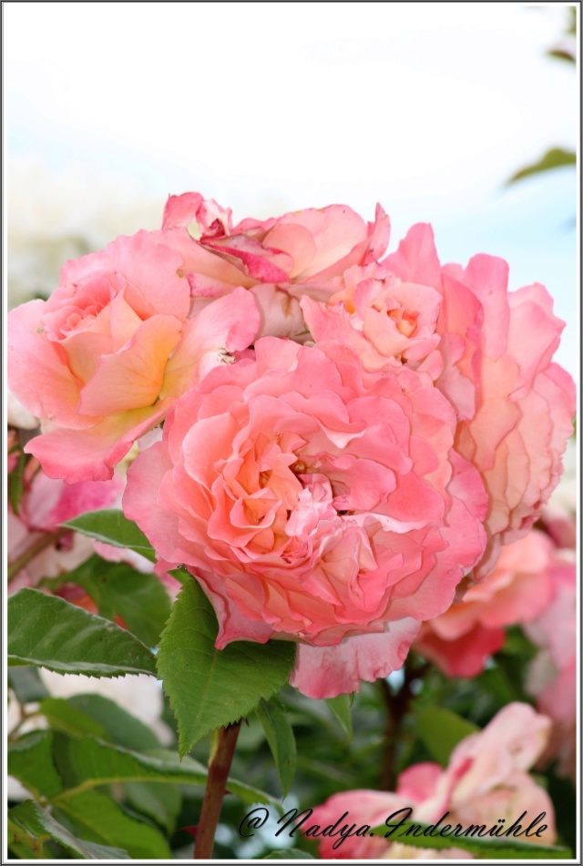 Les roses. Cadre103