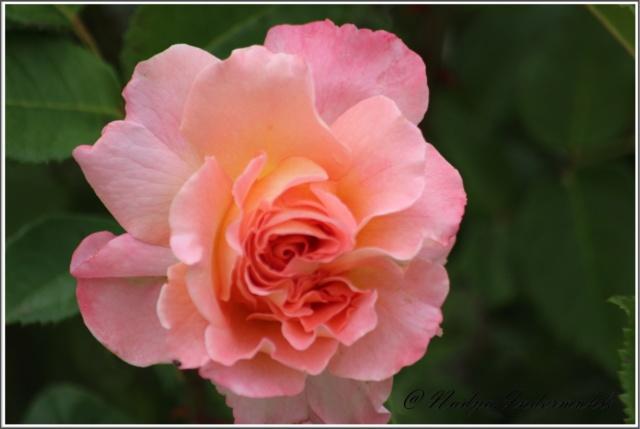 Les roses. Cadre104