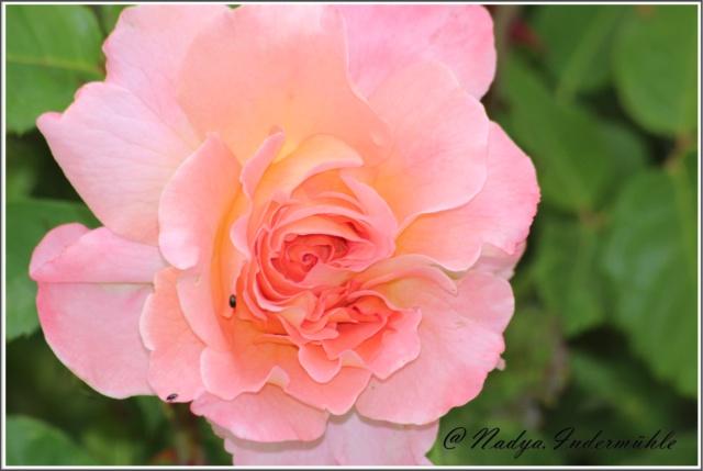 Les roses. Cadre105