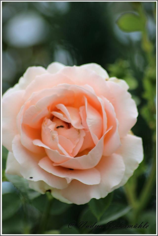 Les roses. Cadre106