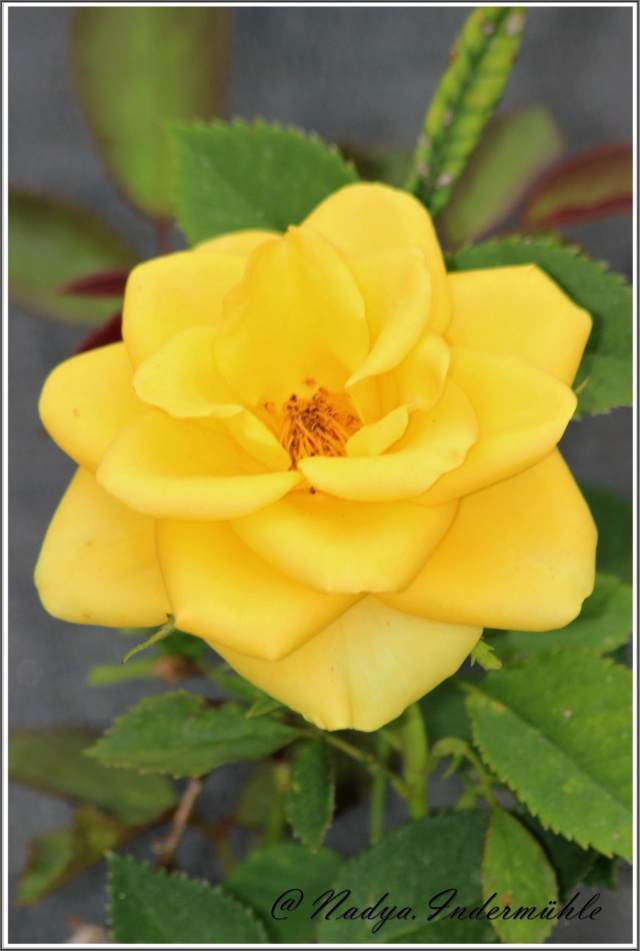 Les roses. Cadre107