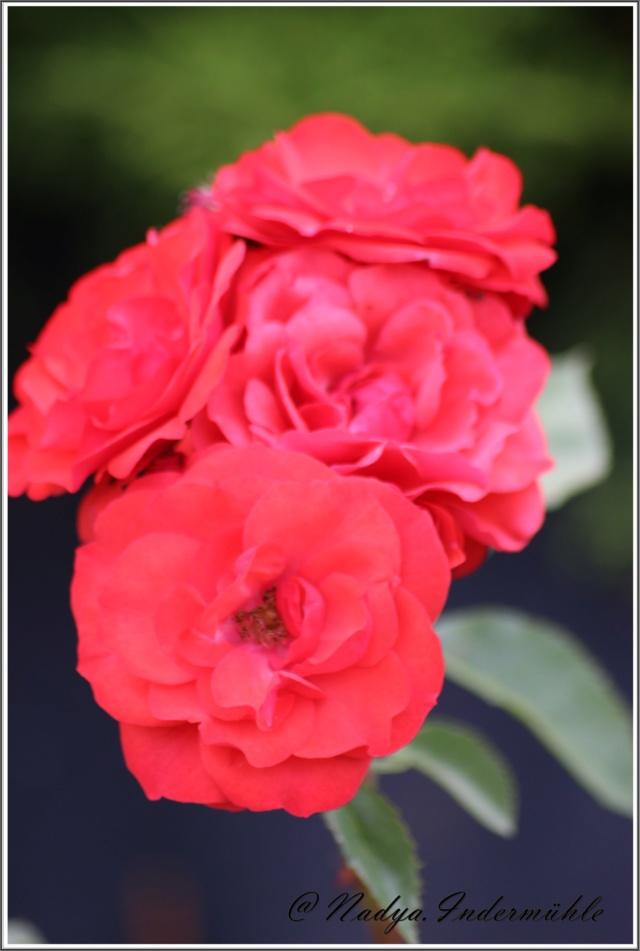 Les roses. Cadre109