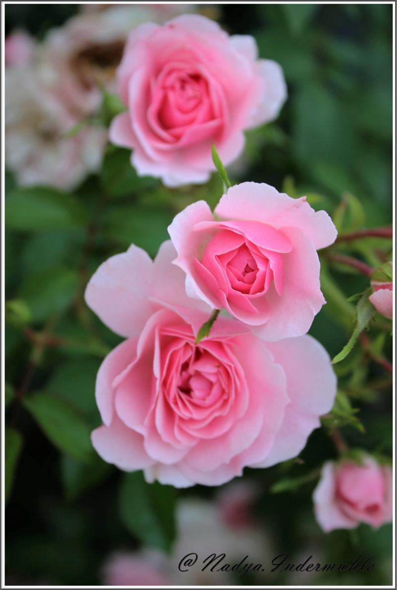 Les roses. Cadrei24