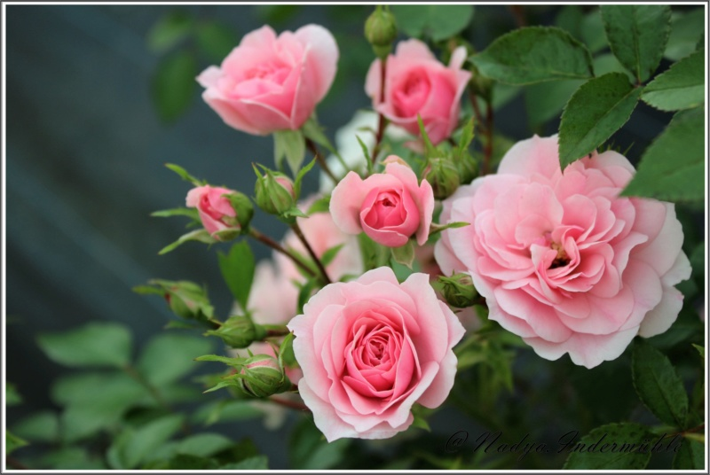 Les roses. Cadrei25