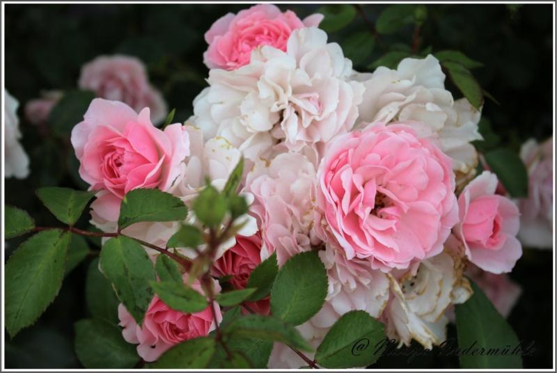 Les roses. Cadrei26
