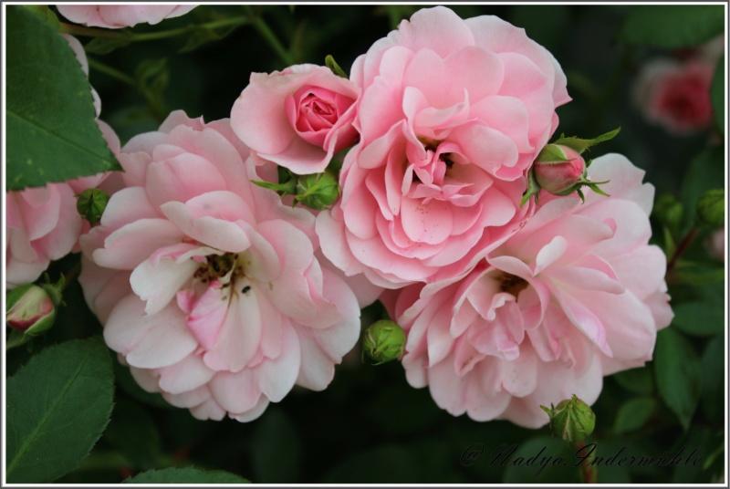 Les roses. Cadrei27