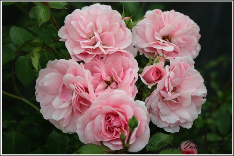 Les roses. Cadrei28