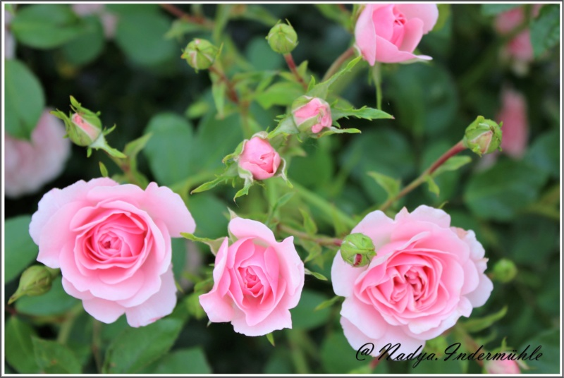 Les roses. Cadrei29
