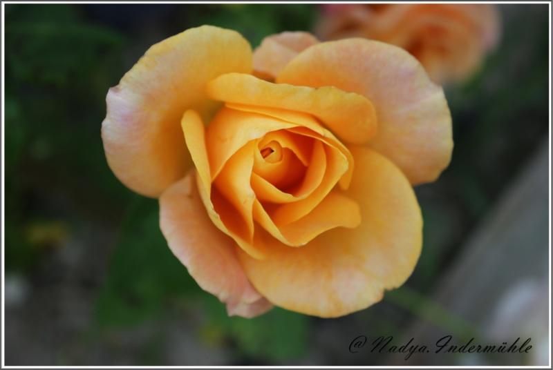 Les roses. Cadrei30