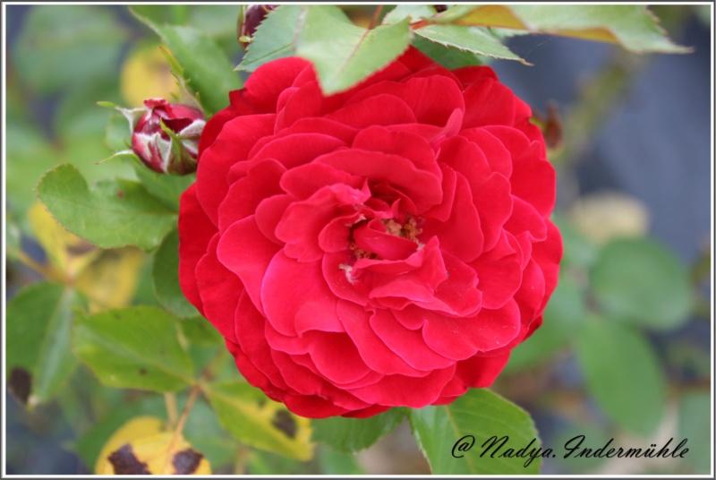 Les roses. Cadrei31