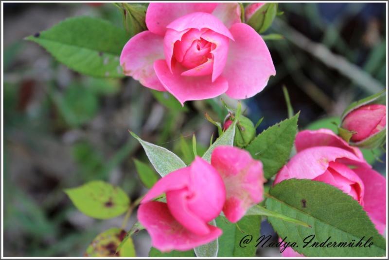 Les roses. Cadrei32