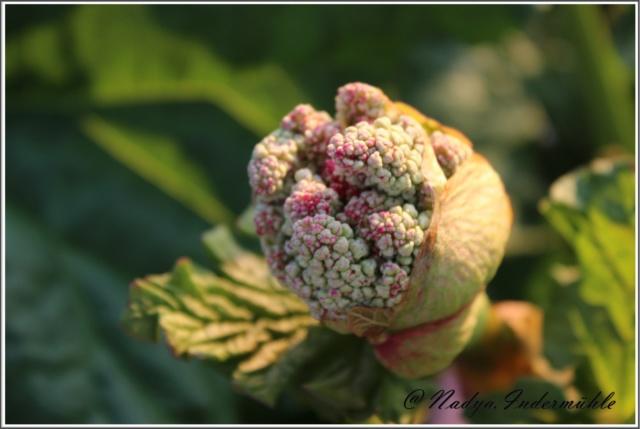 La rhubarbe Cadrei52