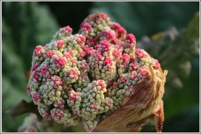 La rhubarbe Cadrei53