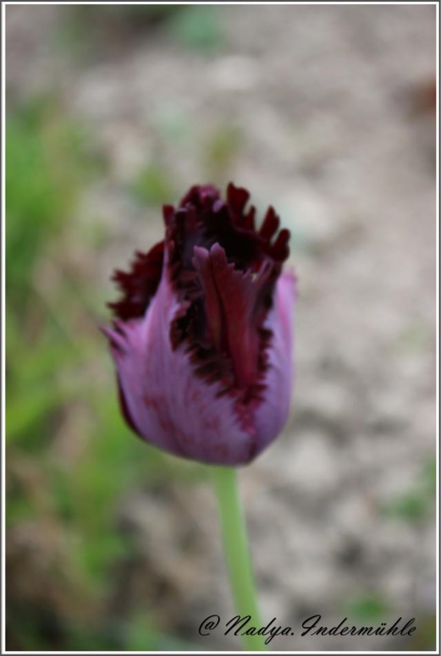 Les tulipes Cadrei84