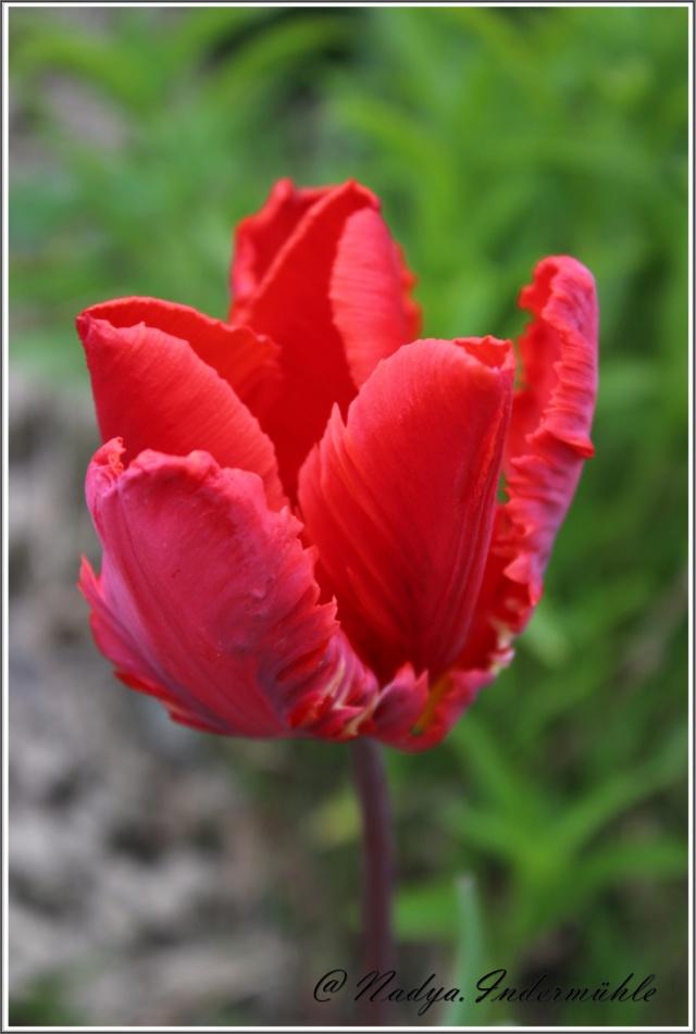 Les tulipes Cadrei85