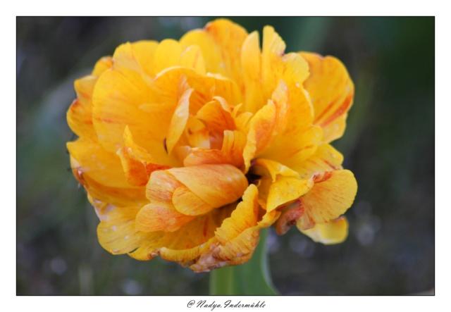Les tulipes Cadrim23