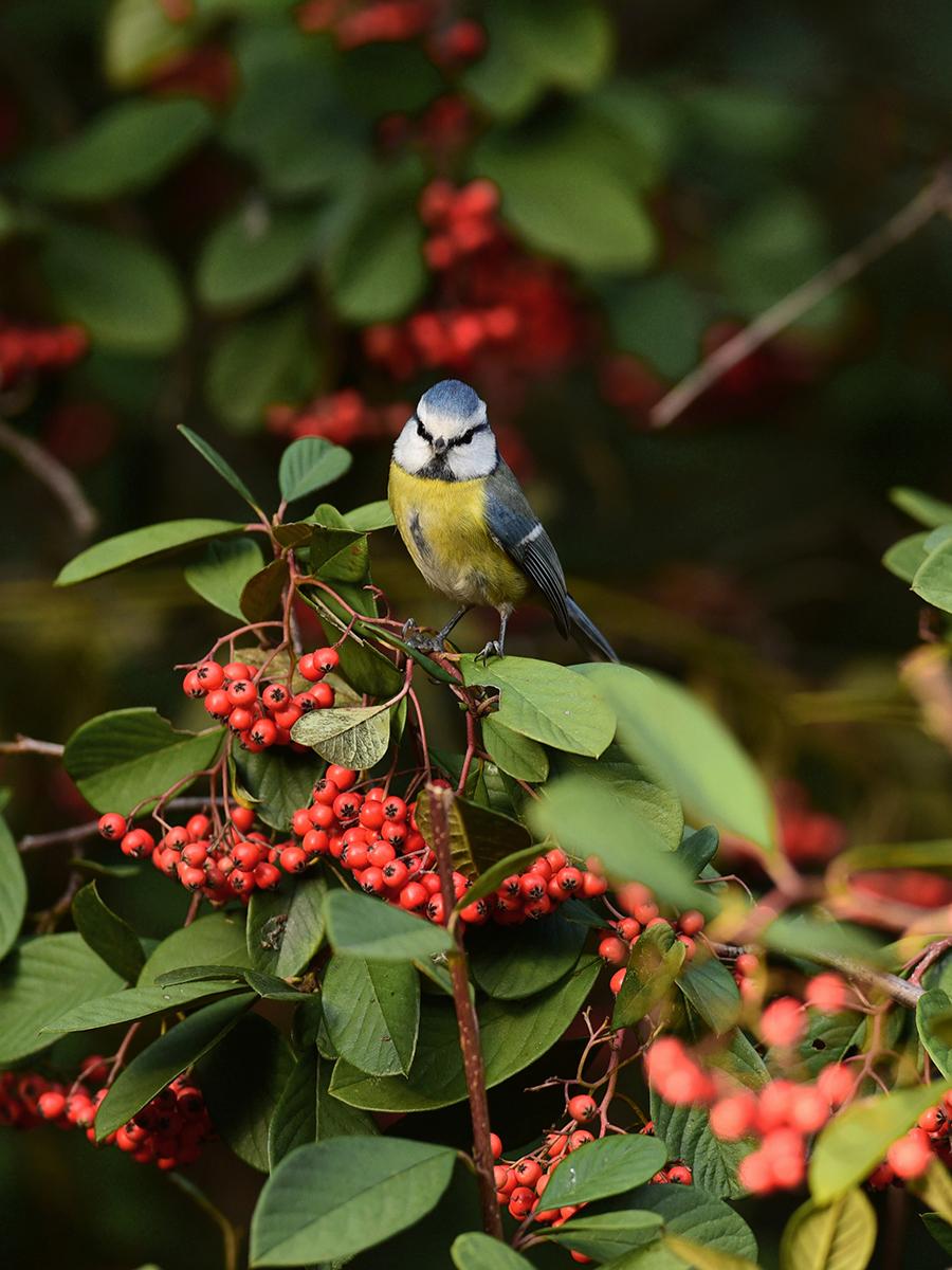 [Ouvert] FIL - Oiseaux. - Page 20 Bleue211