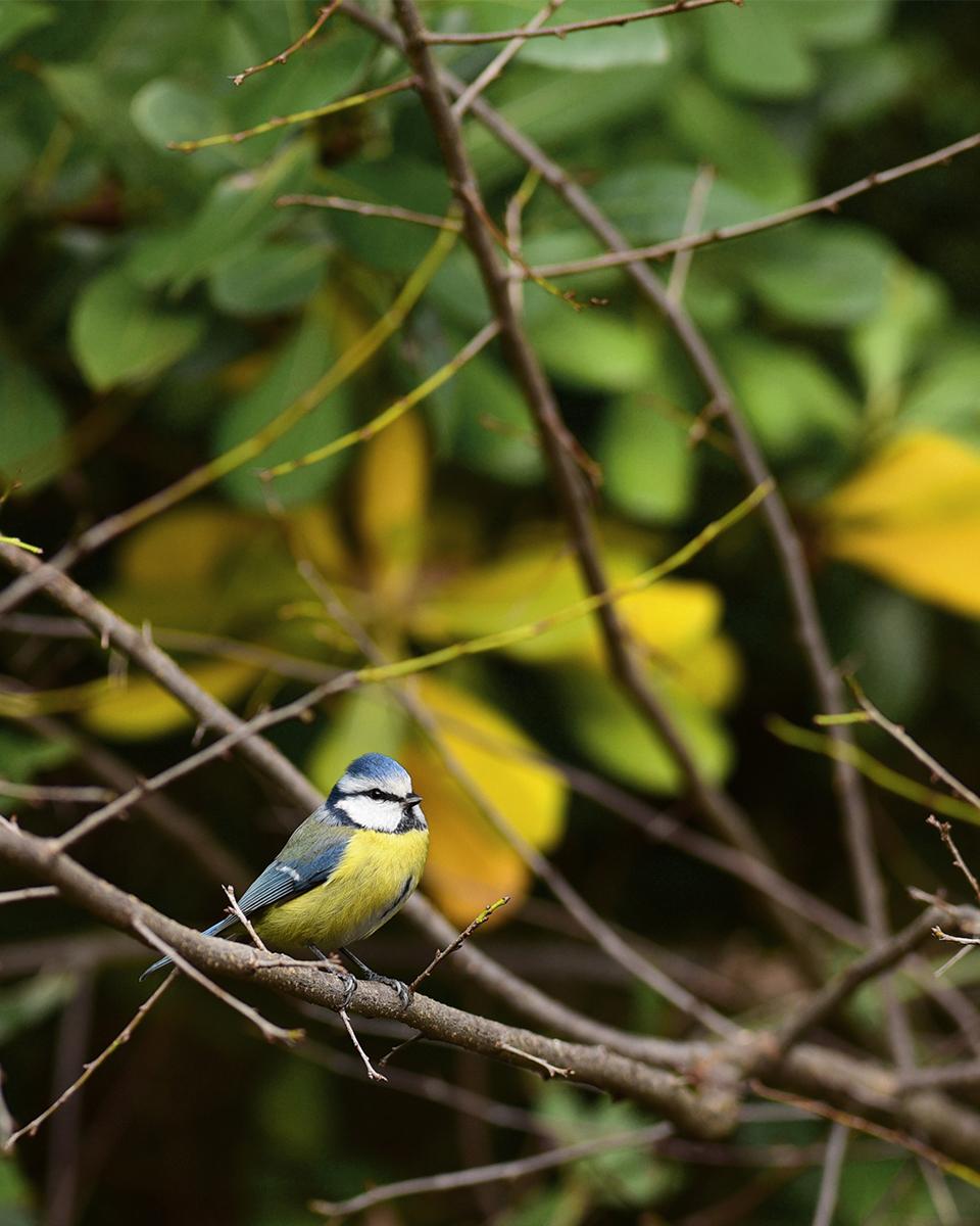 [Ouvert] FIL - Oiseaux. - Page 20 Bleue_10