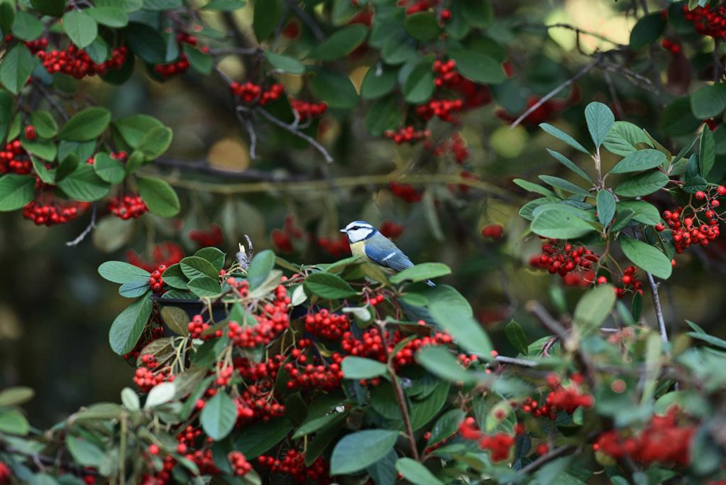 [Ouvert] FIL - Oiseaux. - Page 20 Bleue_11