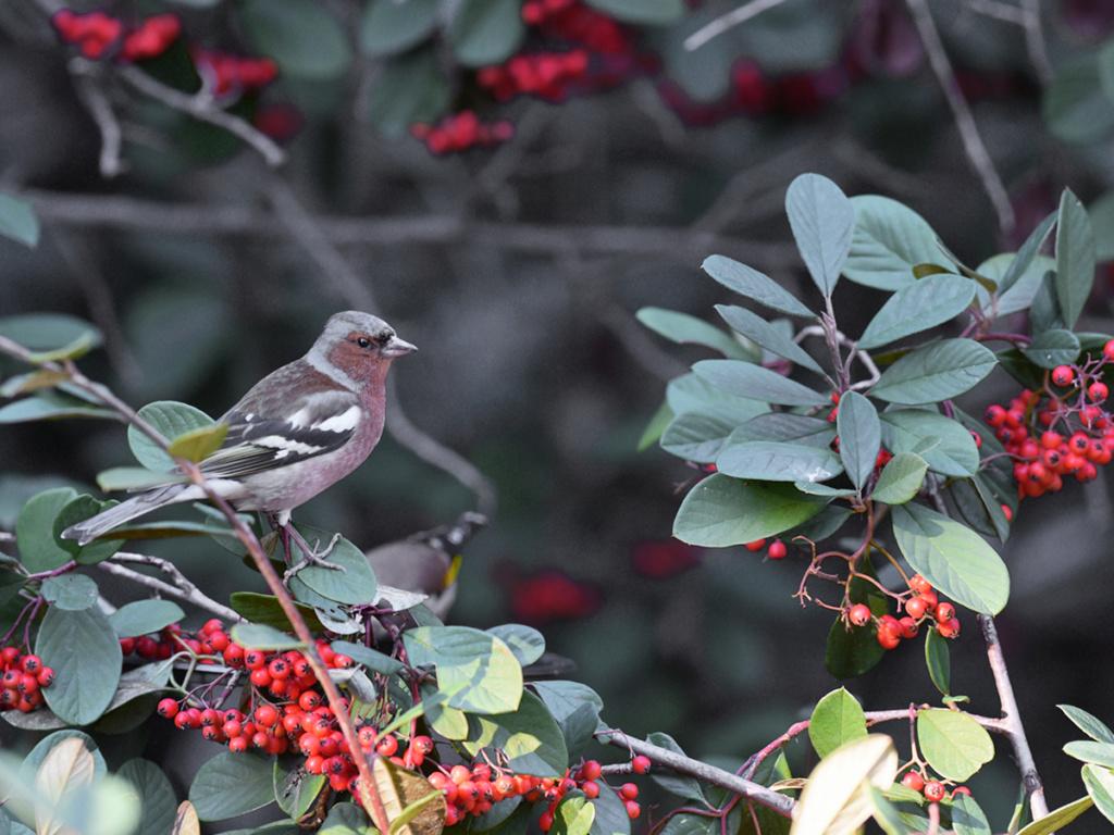 [Ouvert] FIL - Oiseaux. - Page 20 Pinson11