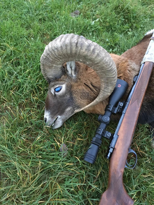 Tête Bizarde d'un Mouflon Allemand Photo110