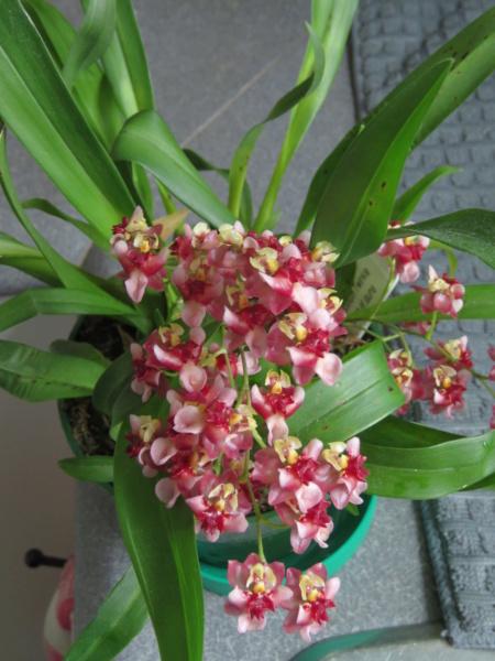 Orchidées + succulentes + autres. Chez Ola, saison 2.  - Page 5 Img_0643
