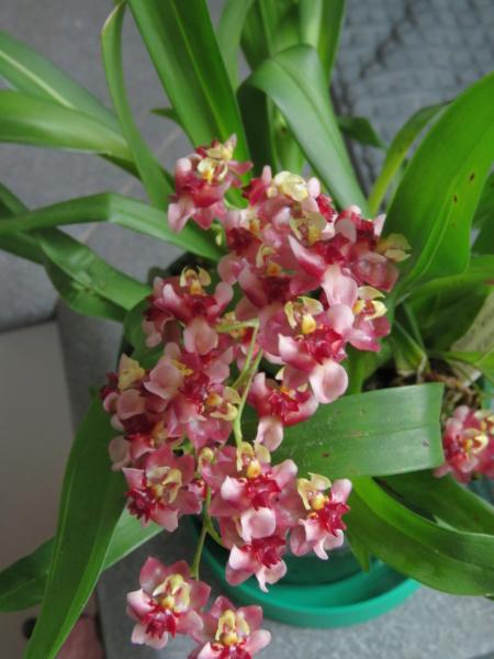 Orchidées + succulentes + autres. Chez Ola, saison 2.  - Page 5 Img_0644