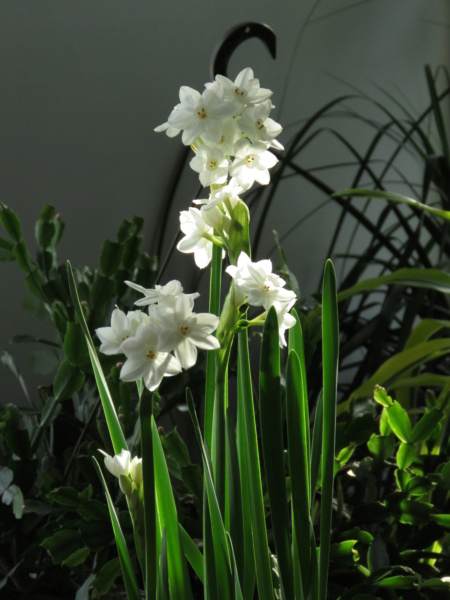 Bulbes de Narcissus Img_9574