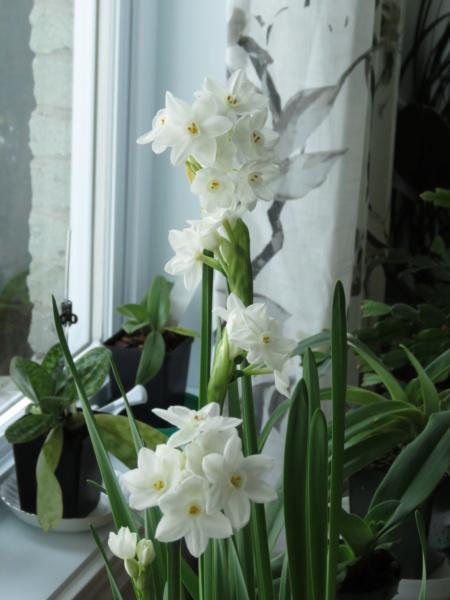 Bulbes de Narcissus Img_9575