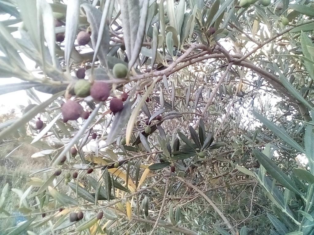 Aceitunas secas (Zaragoza) A10