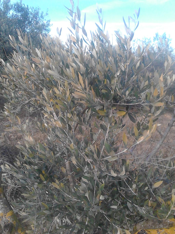 ¿Qué les pasa a mis olivos? (Zaragoza) Img_2023