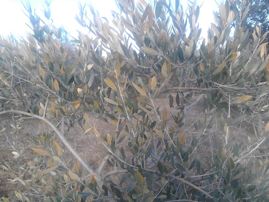 ¿Qué les pasa a mis olivos? (Zaragoza) Img_2024