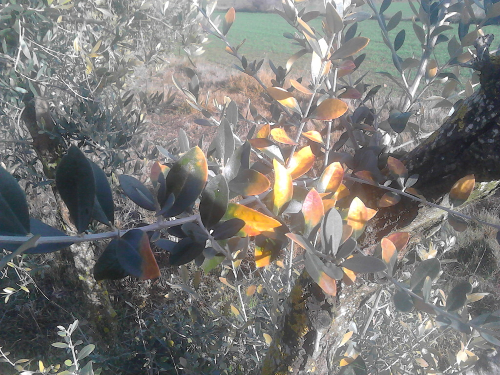 ¿Qué les pasa a mis olivos? (Zaragoza) Img_2026