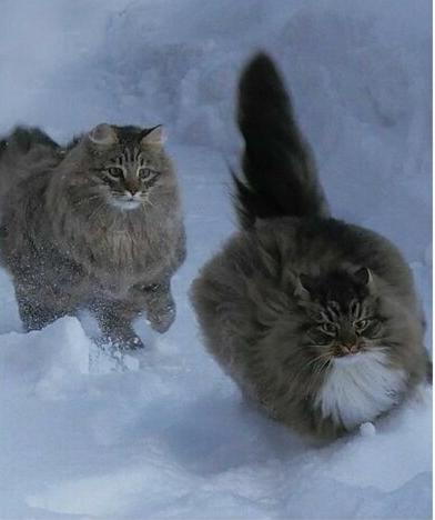 Финские котики пушистики Scree223