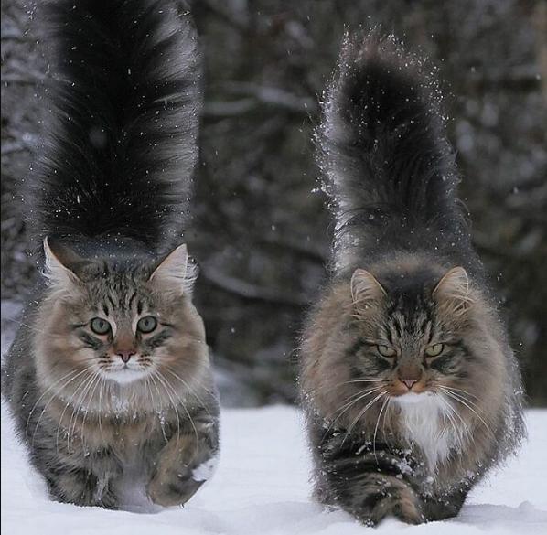 Финские котики пушистики Scree226