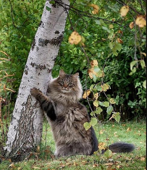 Финские котики пушистики Scree231