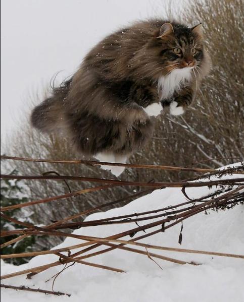 Финские котики пушистики Scree232