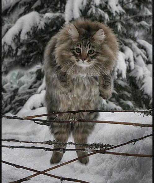 Финские котики пушистики Scree234