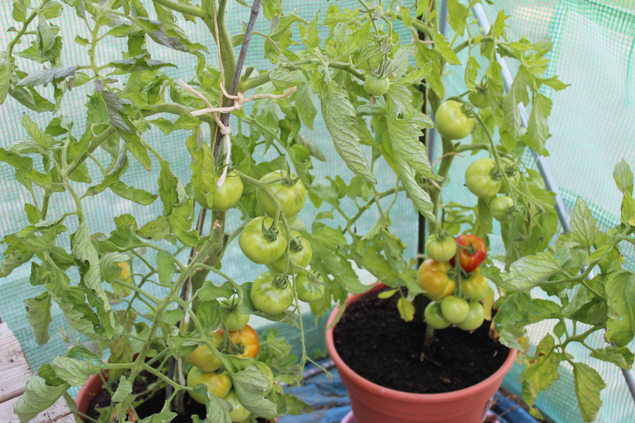 Que se passe t'il au jardin? - Page 7 Tomate11