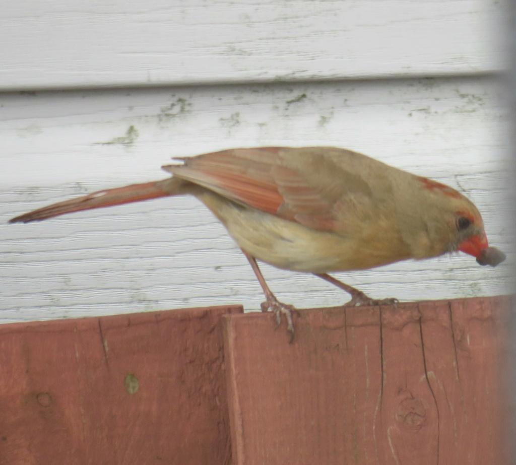 cardinal femelle Cardin11