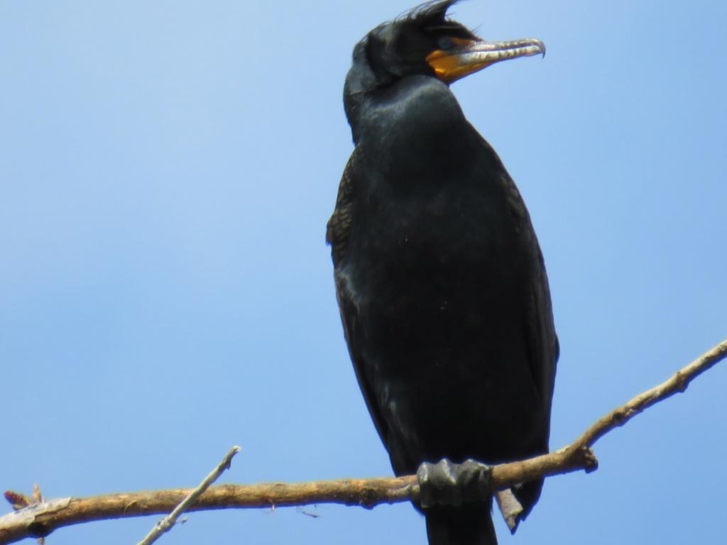 cormoran Cormor10