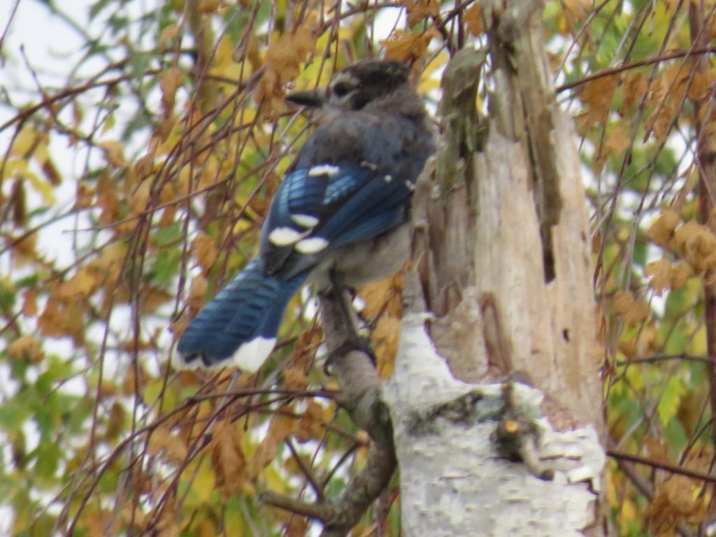 Un geai bleu juvénile? Il manque pas mal de bleu au plumage Geai_b11