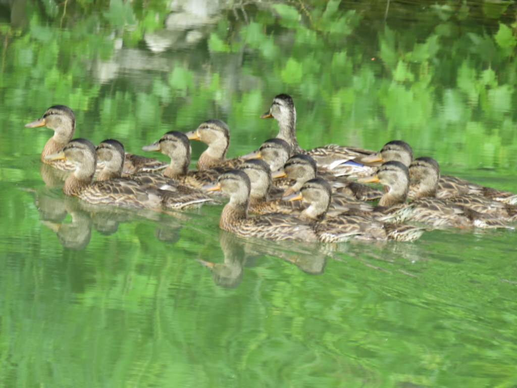 familles de canard colvert Img_0126
