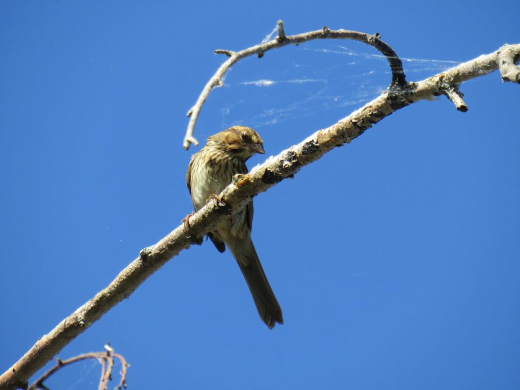 quel est cet oiseau? première fois vu chez-moi Img_0215