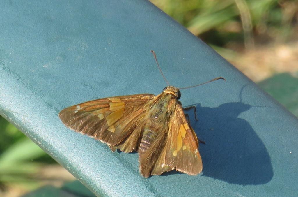 papillon peut-être poanes hobomok Img_0316