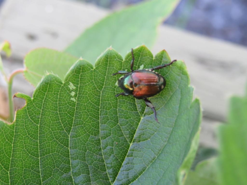 scarabée japonais Img_0317