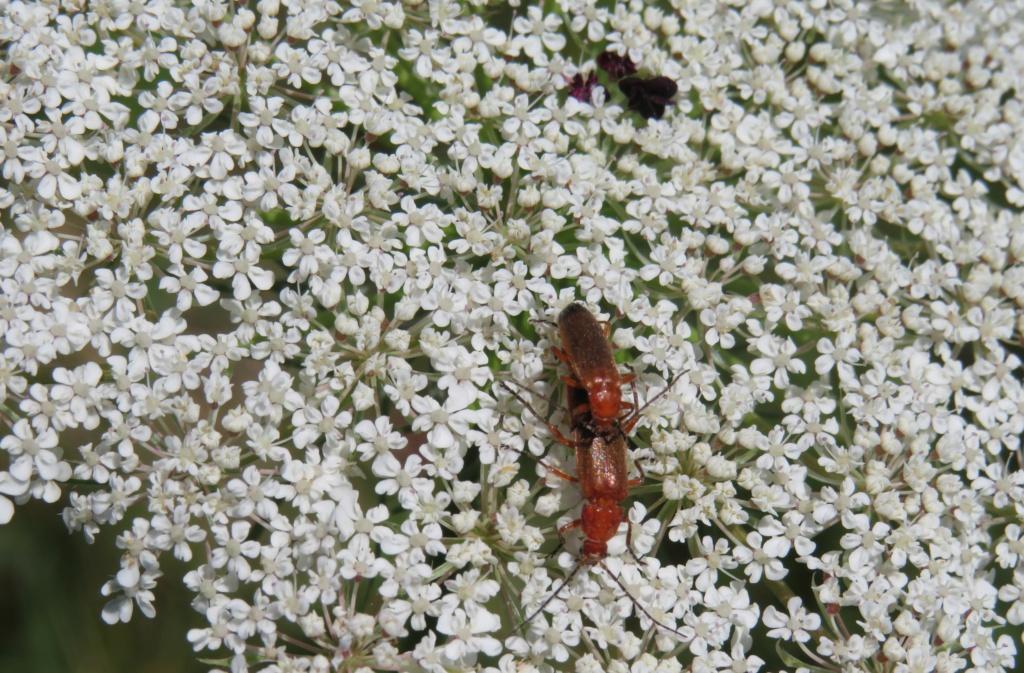 insecte le téléphore fauve  Img_0320